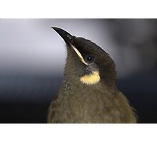 Lewins Honey Eater Photographic Print
