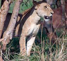 Watchful Lioness by Michael Clark