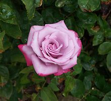 Rose by Phyllis