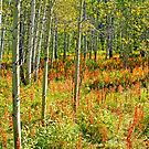 Aspen Beauty by Harry Oldmeadow