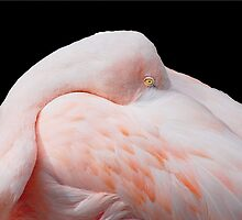 Flamingo Resting by Terry Best