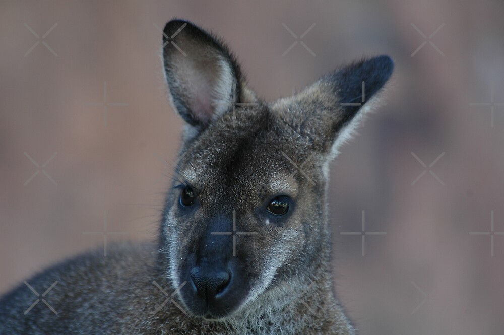 Wanna Be A Wallaby by Holly Werner