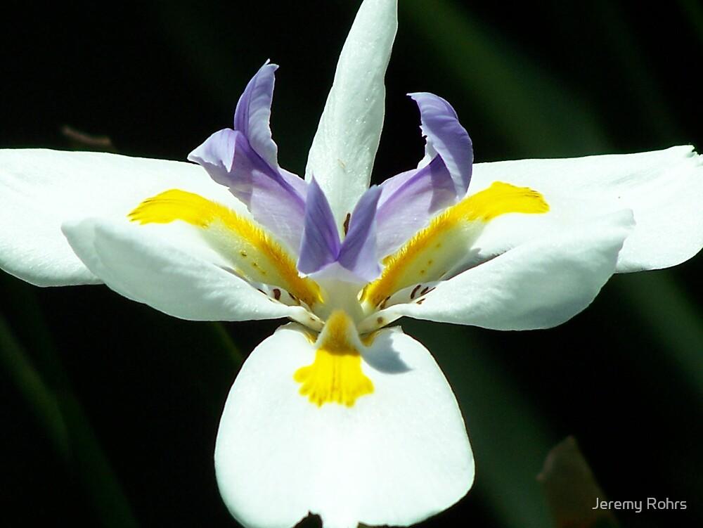 Lily Beauty by Jeremy Rohrs