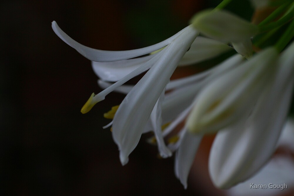 White Agapanthus by Karen Gough