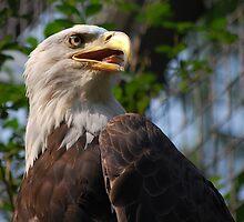 Bald Eagle by jmottola