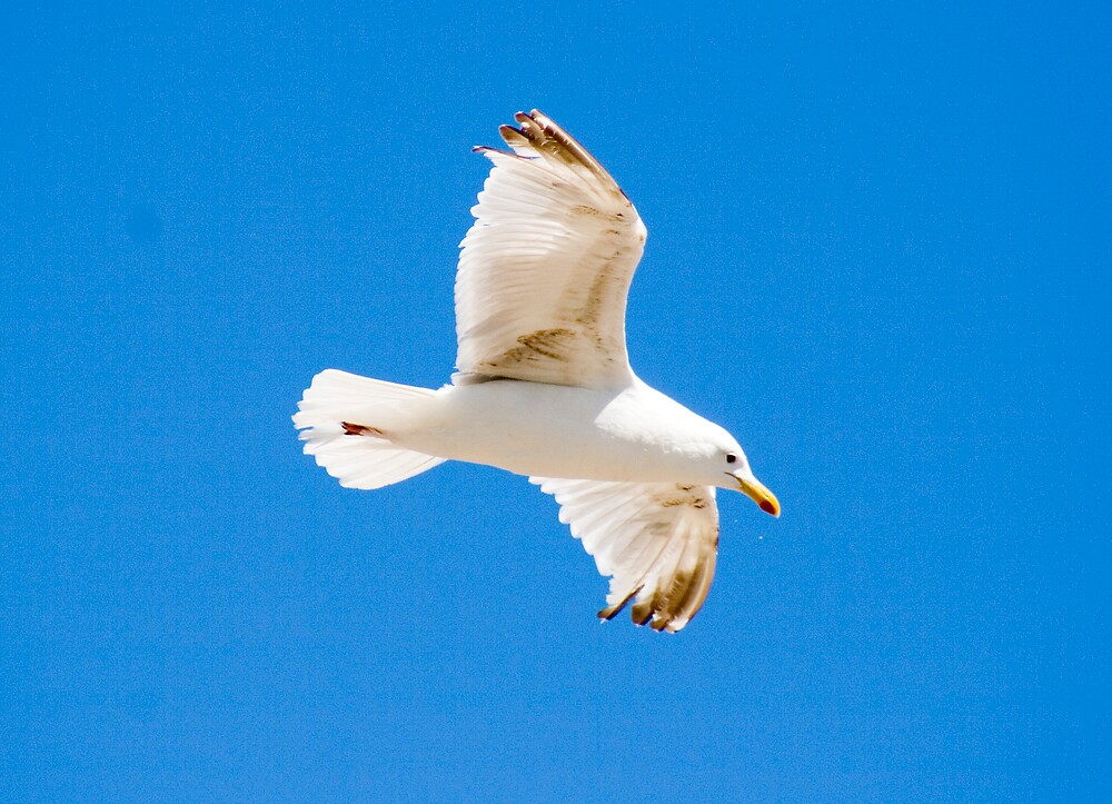 Seagull in flight by epc2007