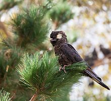 Black Cockatoo by mncphotography