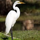 Eastern Great Egret by mncphotography