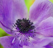 Purple Radiance by Paul1965