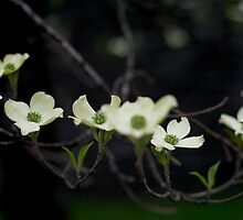 Kentucky Blossoms by awkwardrobot