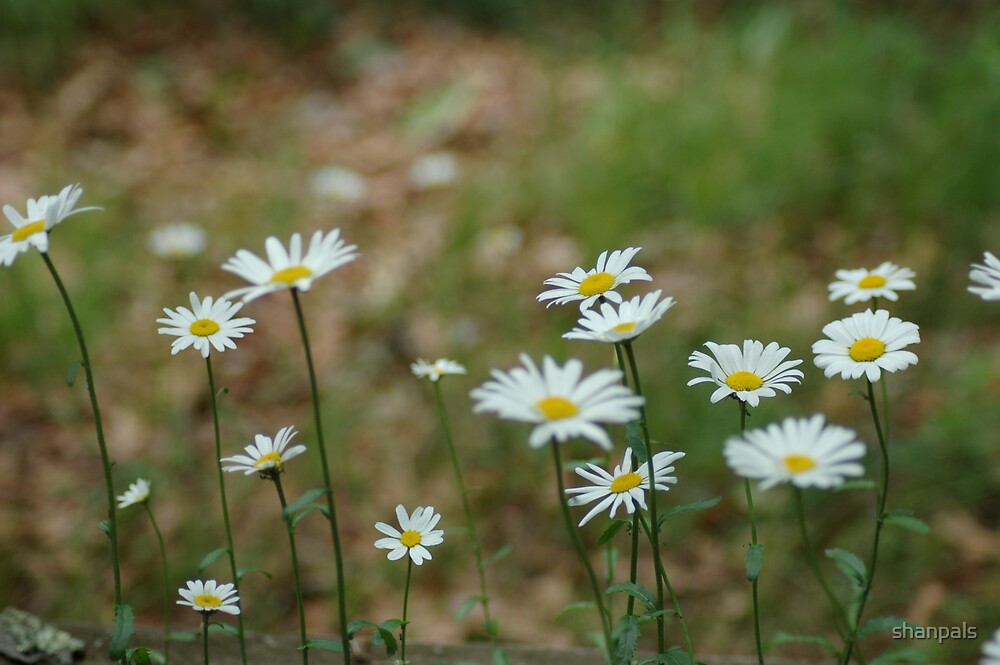 Daisy's by shanpals