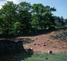Sheep and hill above Rydal Water Lake District England 198405200018 by Fred Mitchell