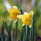Daffodils by Alfy