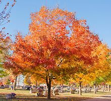 Sugar Maples in Autumn by Bonnie T.  Barry