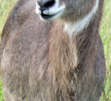 Female Waterbuck Sticker