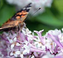 Painted Lady  by Kelly  McAleer