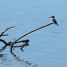 Belted Kingfisher by levipie