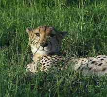 Cheetah by HelenRutter