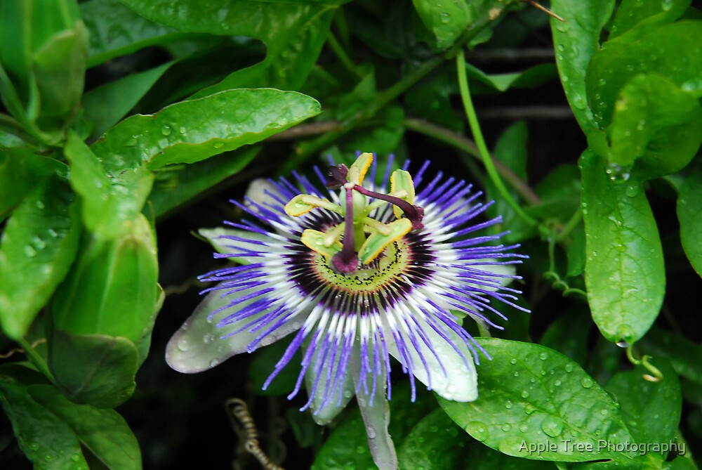 Passion Flower by Apple Tree Photography