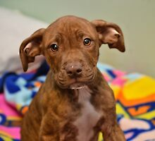 Pit Bull Mix Puppy  by Peggy  Volunteer Photographer FOR RESCUE ANIMALS