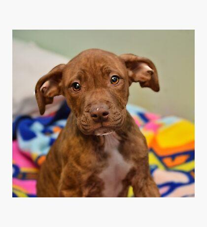 Pit Bull Mix Puppy  Photographic Print