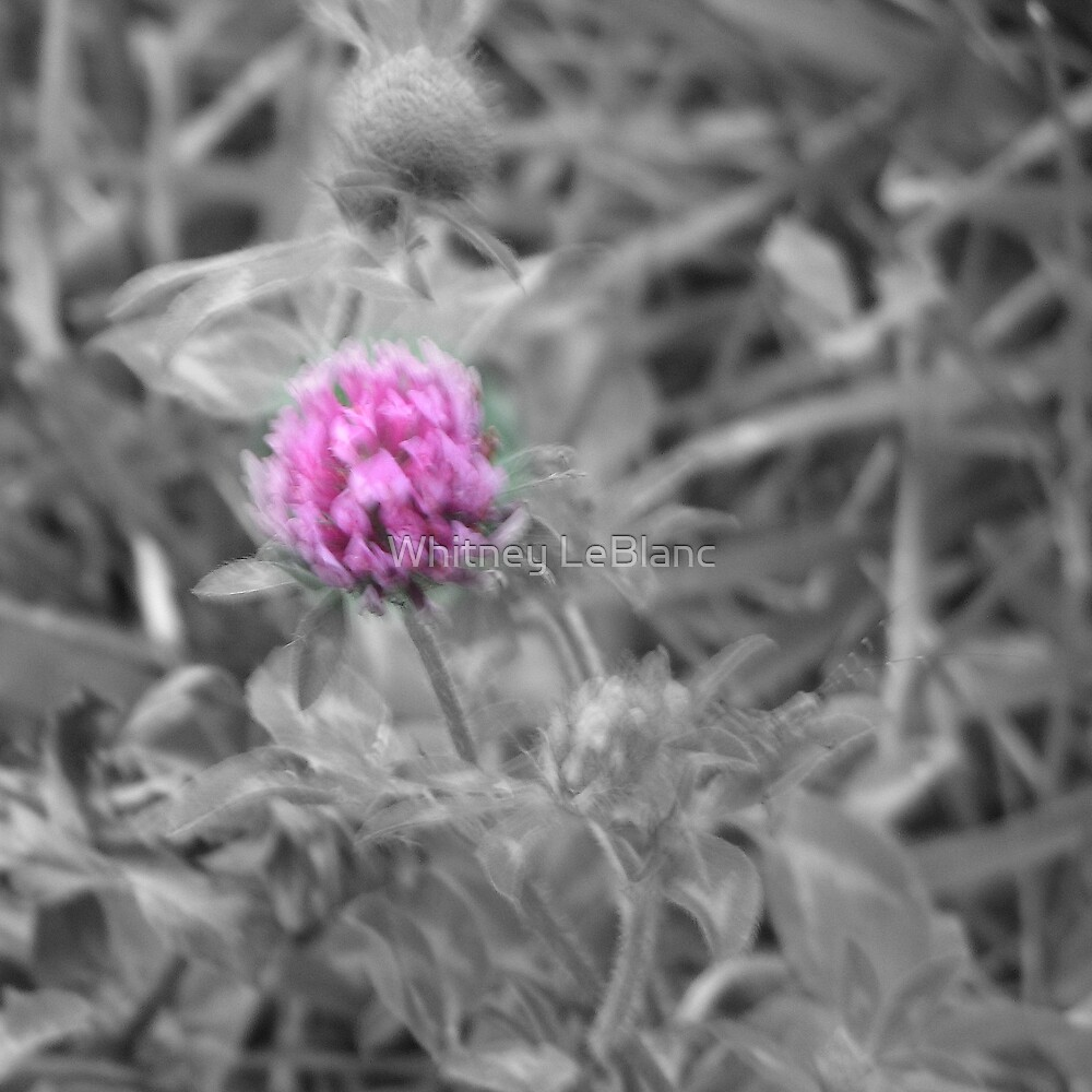 clover bloosom by Whitney LeBlanc