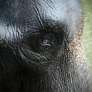 Elephant eye by fab2can