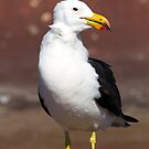 Pacific Gull by mncphotography