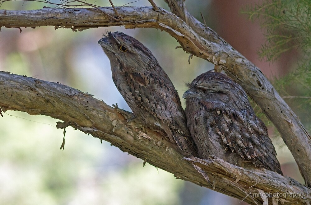 Camouflage- A Pair of Tawny Frogmouth Owls by mncphotography