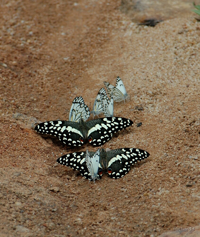 Butterflies by Richard3