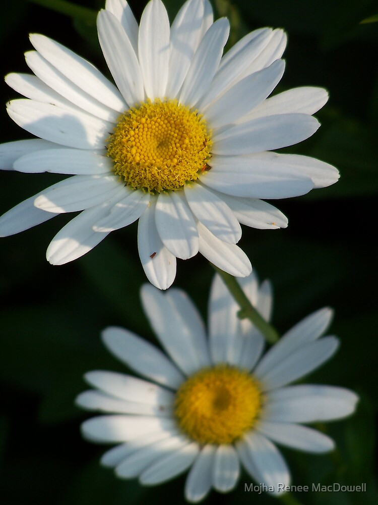 Daisy by Mojha Renee MacDowell