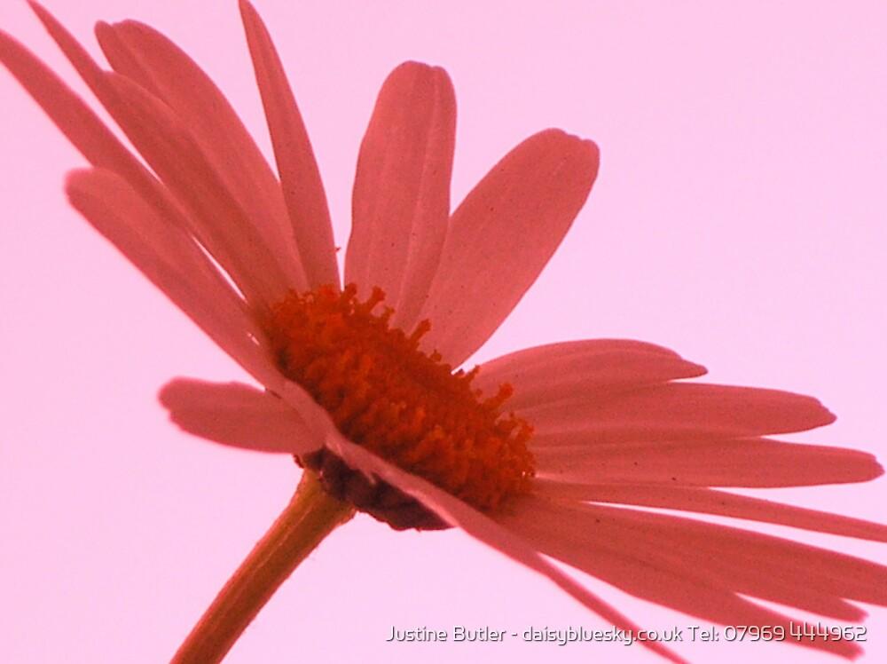 Dusky Daisy on Sky by Justine Butler - daisybluesky.co.uk Tel: 07969 444962