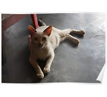 Indonesian cat Poster