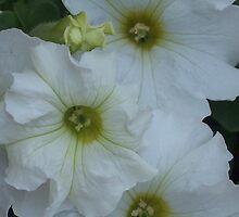 Pretty Petunias by jennyp