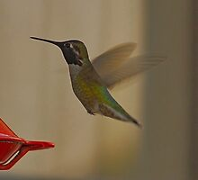 Hummingbird in flight by Kismet