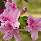 Pink Azalea by Christine  Wilson