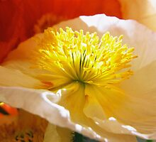 poppy  by sunset