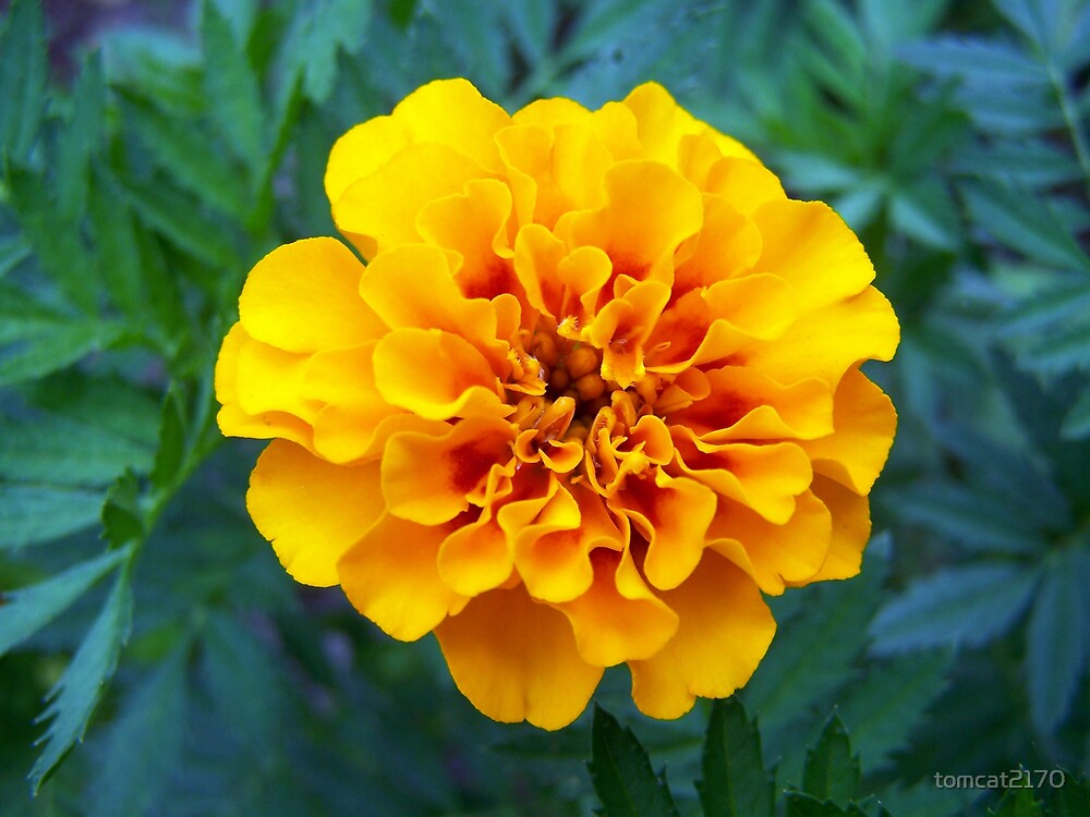 marigold  by tomcat2170