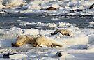 Polar Bear Mother & Cub Grooming  by Carole-Anne