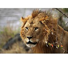 Cat: Large Male Lion Looking Intently as He Comes Out of the Bush, Maasai Mara, Kenya  Photographic Print
