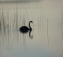 Black Swan, Myall Lakes, National Park NSW. by Virginia McGowan