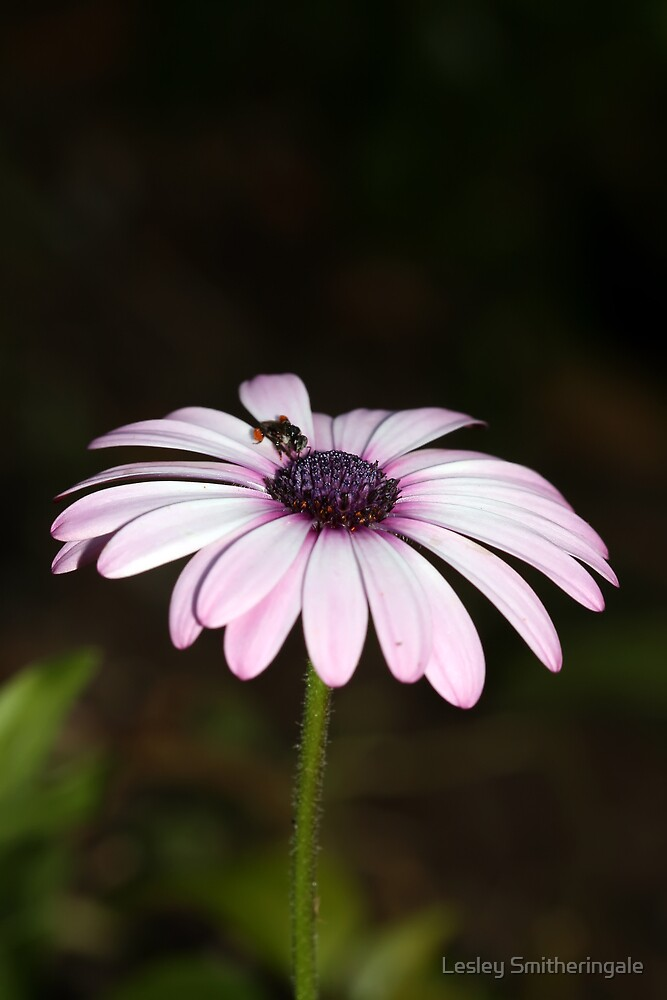 Bee on pinkish white daisy I by Lesley Smitheringale