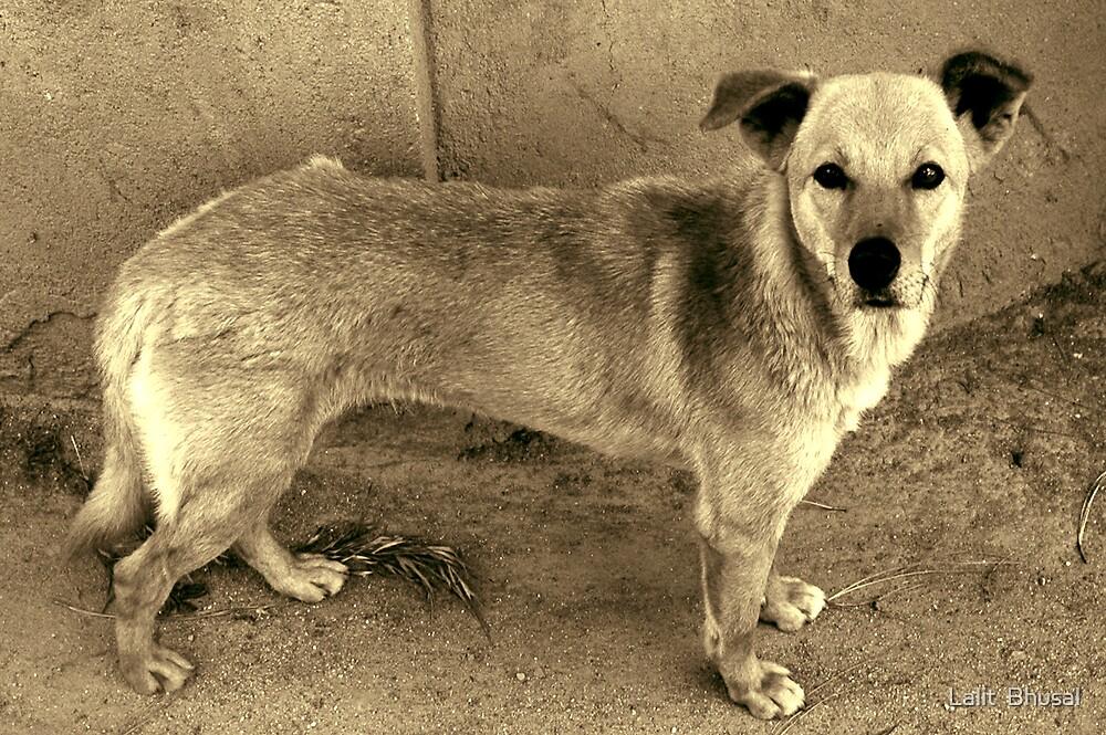 Street Dog by Lalit  Bhusal