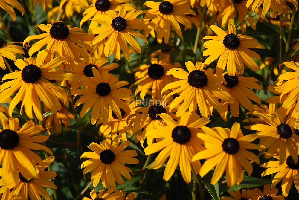 Black Eyed Susan by bunnij