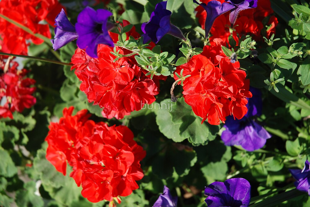 Red & Purple Explosion by bunnij