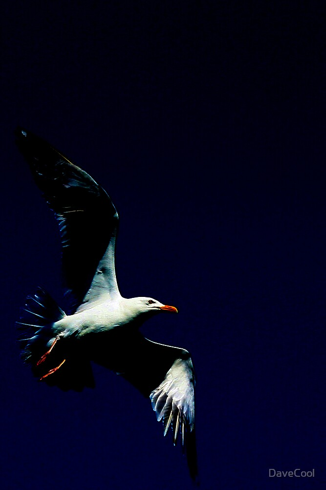 Seagull by DaveCool