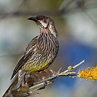 Red Wattle Bird by mncphotography