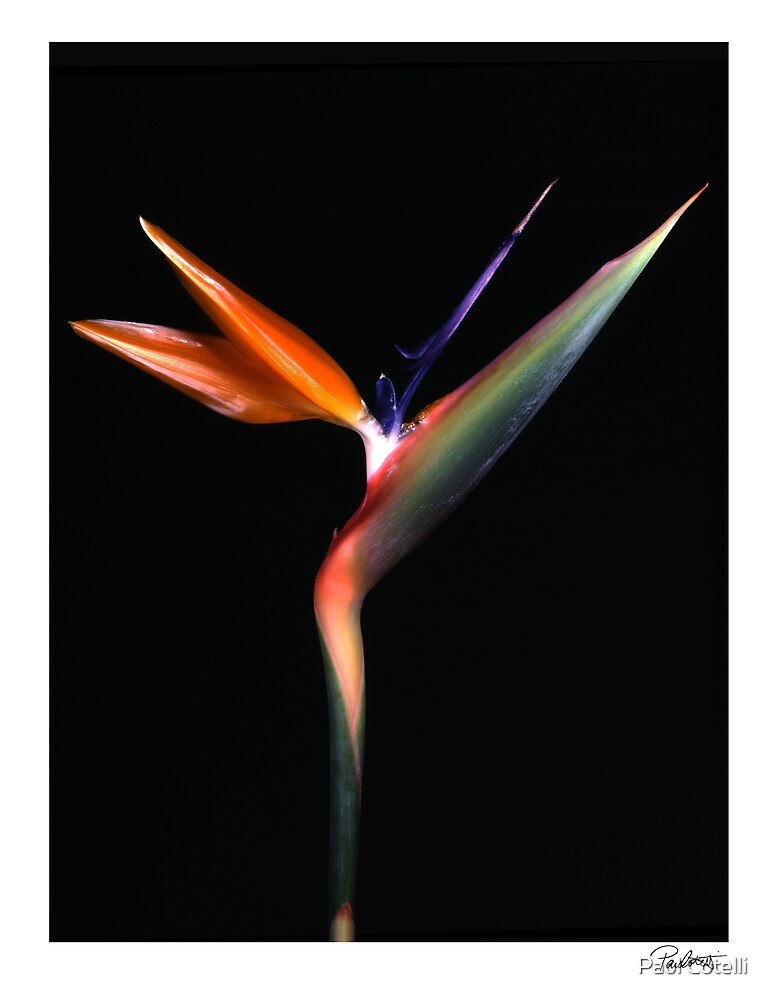 """'Bird of Paradise' from the series """"Inner Bloom"""" by Paul Cotelli"""