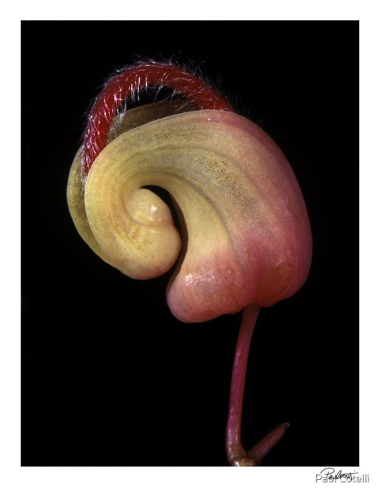 "'Grevillea 01' from the series ""Inner Bloom"" by Paul Cotelli"