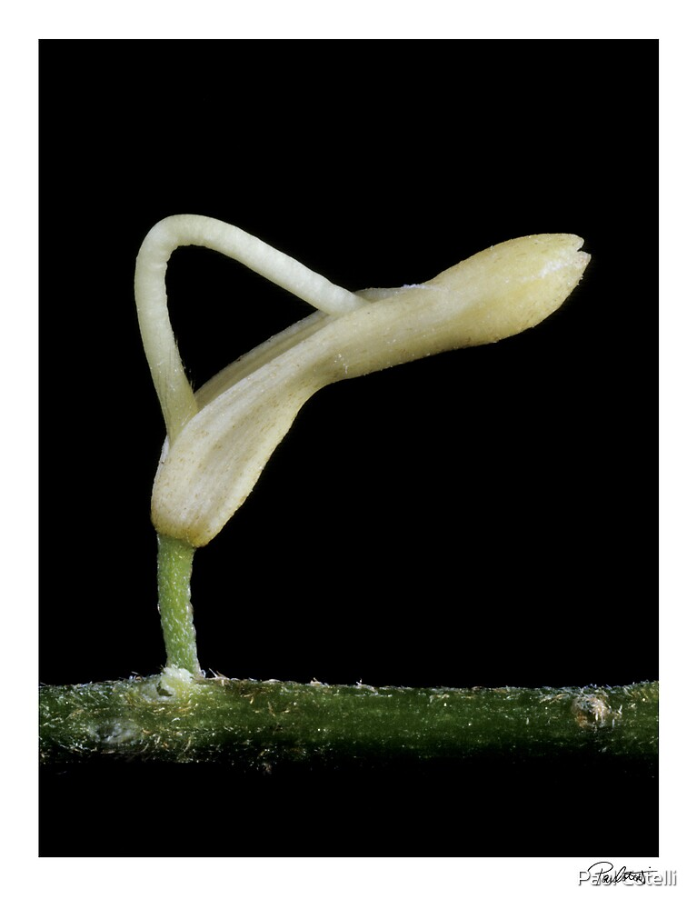 """'Macadamia 01' from the series """"Inner Bloom"""" by Paul Cotelli"""